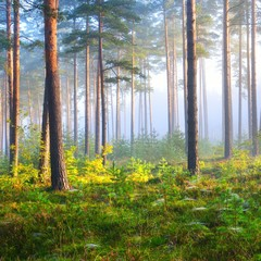 Panel Szklany Drzewa Foggy sunrise in the deciduous forest in Latvia.
