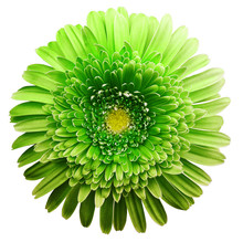 Gerbera Flower Green. Flower Isolated On White Background. No Shadows With Clipping Path. Close-up. Nature