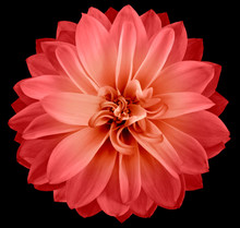 Watercolor Dahlia Flower  Red. Flower Isolated On Black Background. No Shadows With Clipping Path. Close-up. Nature.