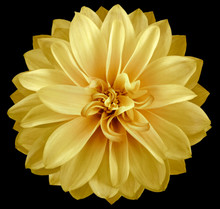 Watercolor Dahlia Flower  Yellow. Flower Isolated On Black Background. No Shadows With Clipping Path. Close-up. Nature.