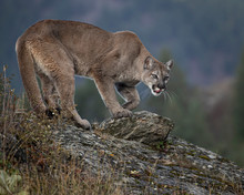 Mountain Lion Dee Dee Triple D...