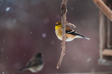Gold Finch Sitting On A Tree Branch In The Snow