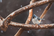 Tufted Titmouse Sitting On A T...