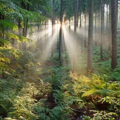 Fototapeta Współczesny Sun rays in a fog in a misty morning green forest. Osnabruck, germany