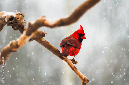 Photo Cardinal on a Tree Branch in a Snow Storm
