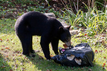 Urban Black Bear Raids A Neigh...
