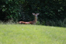Young Buck On A Golf Course