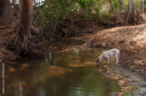 Photo skinny dog drinks water from stagnant pond