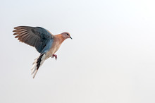 A Laughing Dove Quickly Preparing For Land