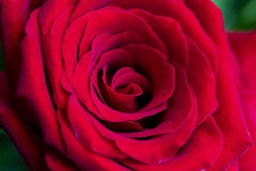 rosa vermelha com close nas pétalas