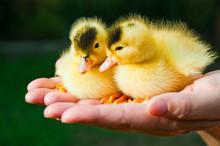 Two Little Cute Duckling Sit O...