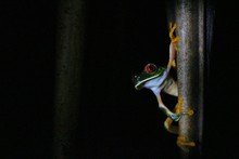 Red-eyed Tree Frog By Night