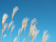 Tokyo,Japan-November 29, 2019: Eulalia Or Chinese Silvergrass Under Blue Sky In Winter