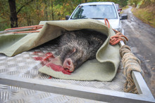 Wild Boar Dead, Hunted In A Whisk In The Mountains Of Bizkaia