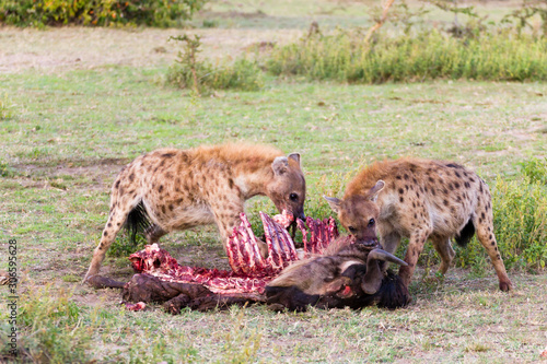 Fotografía Hyenas eating wildebeest, Serengeti National Park, Africa