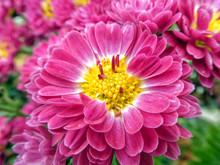Garden Cosmos (Cosmos Bipinnatus Cav.) Flower