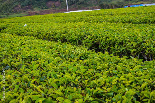 Fototapeta the view of the tea garden is clearly visible and Mount Talang is so beautiful