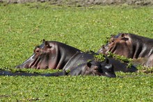 Group Of Hippos In A Waterhole With Green Acquatic Plants, South Luangwa National Park, Zambia