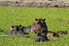 Group Of Hippos Floating In A ...
