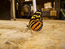 Lycorea Halia Butterfly Standi...