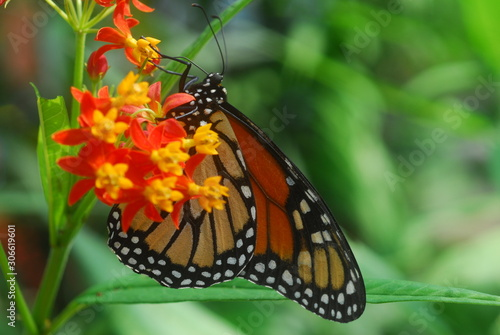 black orange monarch tiger Butterfly insect on a green leaf