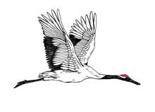 The Crane Bird Fly  On White Background
