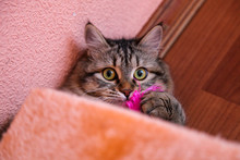 Striped Cat Plays With Pink Feather