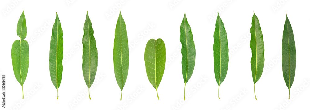 Fototapety, obrazy: Green mango leaves isolated on white background. Clipping path
