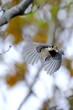 varied tit in forest