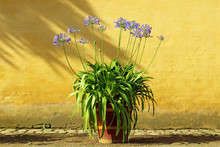 Lily (Agapanthus) In  A Wooden Pot, On A Background Of A Yellow Wall.