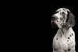 Portrait of Great Dane Dog Stare at Side on Isolated Black Background