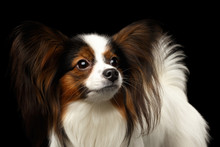 Portrait Of White Papillon Dog, Looking Up On Isolated Black Background