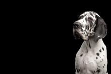 Portrait Of Great Dane Dog Sta...