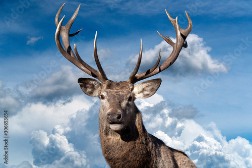 male red Deer portrait looking at you on cloudy sky background - 306653654