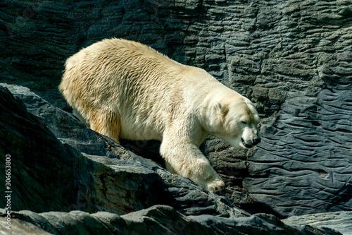 obraz dibond Polar Bear close up portrait