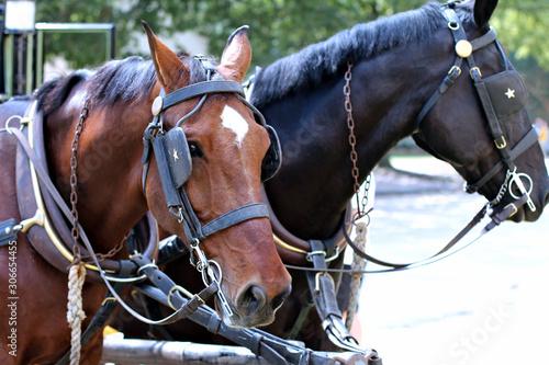 Brown Walking Horse