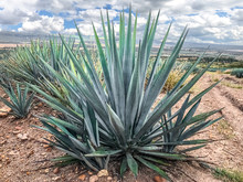 Blue Agave Plant, Ready To Make Tequila