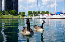 Big Wild Ducks Swimming Close ...