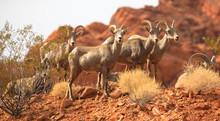 Wild Goats At The Desert, Vall...
