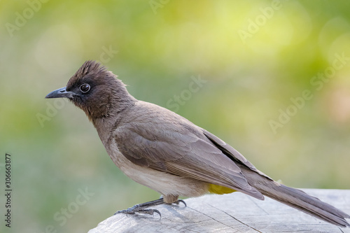 Fotografering A Dark-capped (Blackeyed) Bulbul in the Kavango Region of Namibia