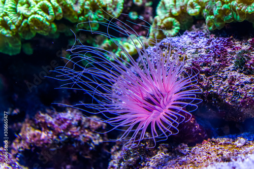 flower tube sea anemone in closeup, purple and pink neon colors, Tropical animal Canvas Print