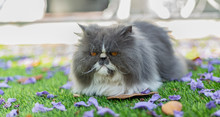 Cute Grey And White Persian Ca...