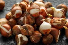 Tulip Bulbs With Little Shoots Ready For Planting Out To Flower In Next Spring On Dark Background