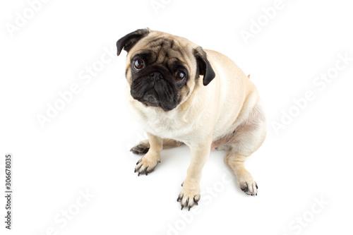 Vászonkép Cute pug dog looking innocent. Very sad dog isolated on white