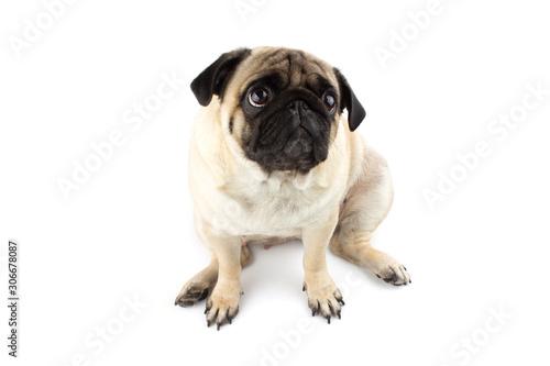 Fényképezés Cute pug dog looking innocent. Very sad dog isolated on white