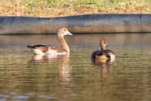 Juvenile Egyptian Goose, Alopo...