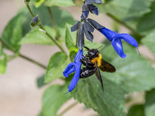 Xylocopa Japanese Carpenter Bees On Sage Flowers 4