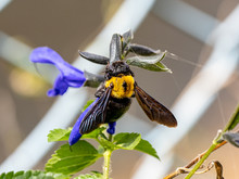Xylocopa Japanese Carpenter Bees On Sage Flowers 10