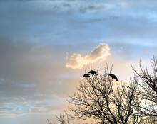 Three Crows Watching A Beautif...