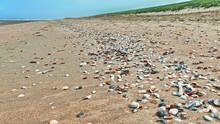 Muscheln Am Sandstrand, Musche...
